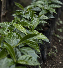 coffee plants growing on Guatemalan plantation