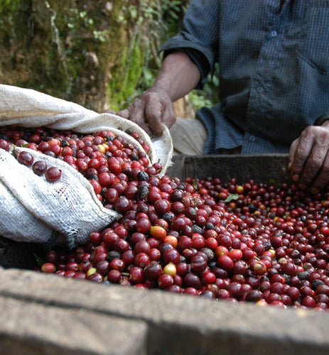 Guatemala Antigua workers harvesting coffee cherries