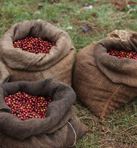 kenya coffee cherries in burlap bags