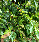 Kenyan green coffee cherries on tree branches