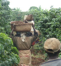 kenya coffee workers carry harvested coffee cherries