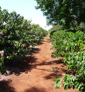 Kenya coffee trees on coffee plantation