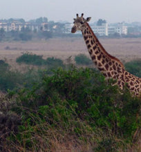 kenya giraffe among brush with city in distance