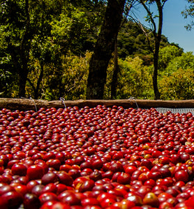 Kenya coffee cherries on a drying bed