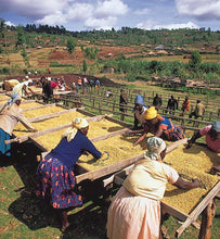 workers drying coffee on raised beds