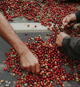 coffee workers sort coffee cherries