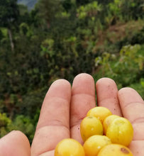 peru yellow caturra held in farmer's hand