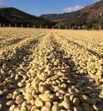 peru yellow caturra coffee dry in the sun