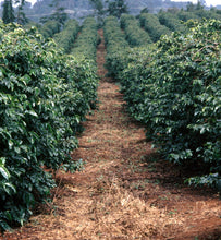 Kenya arabica coffee trees