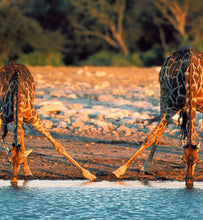 Uganda giraffes drinking water from a lake
