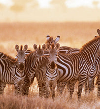 Uganda zebras grazing in grassy area