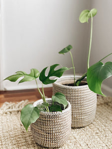White Senegal Planters