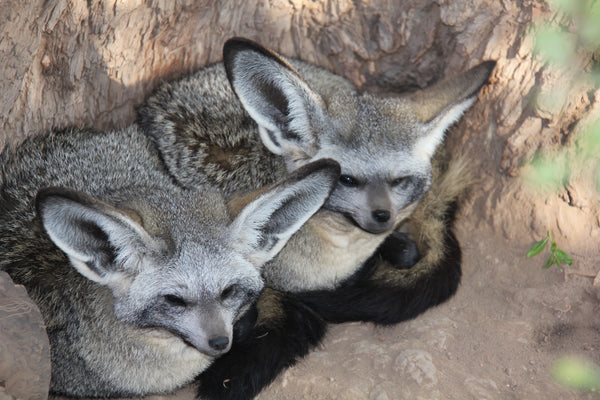 Bat Eared Fox | Becky & Bandit | Adoption
