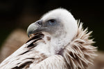 White-Backed Vulture | Adoption