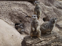 Slender-Tailed Meerkat | Adoption