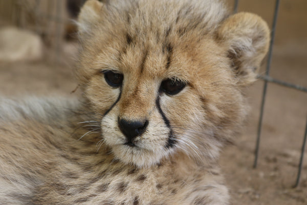 Cheetah | Thandie | Adoption