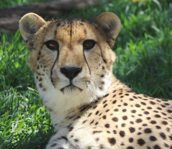 Cheetah | Rafiki | Adoption