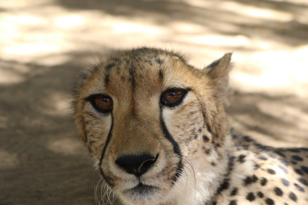 Cheetah | Sansa | Adoption