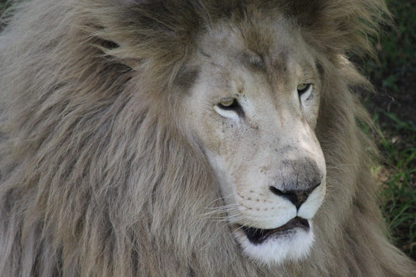 African White Lion | Tribe | Adoption