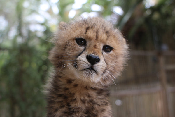 Cheetah | Thane | Adoption