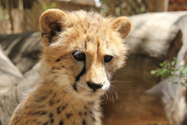 Cheetah | Stark | Adoption