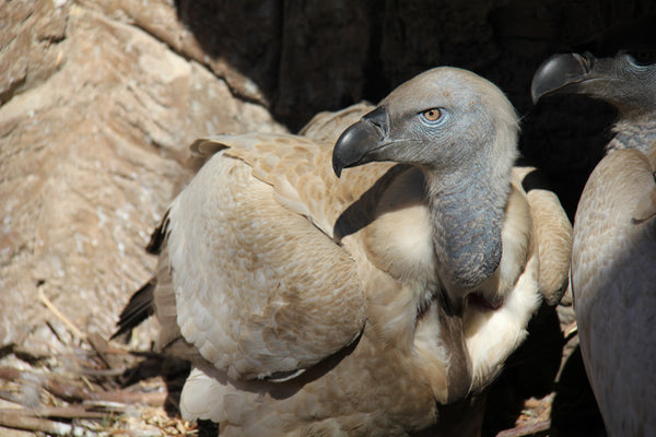 Cape Vulture | Gomez, Lurch, Mortitia and Pugsley | Adoption