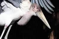 Marabou Stork | Malcolm | Adoption