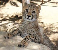 Cheetah | Shae | Adoption