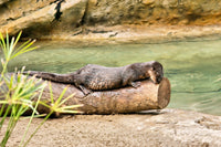 Spotted-necked otter | Speckles | Adoption