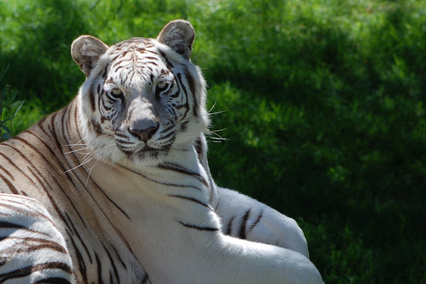 White Bengal Tiger | Taji | Adoption