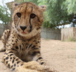 Cheetah | Raven | Adoption
