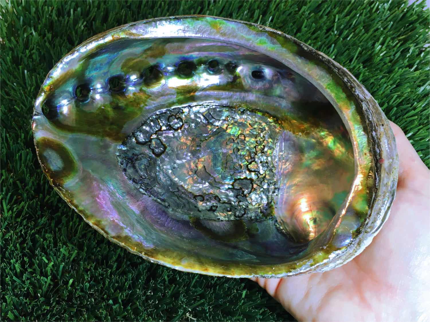 "Large Abalone Shell - 6 - 6 & 1/2"" - Perfect as a smudging bowl or crystal display"