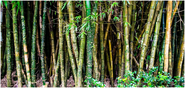 bamboo plant growth