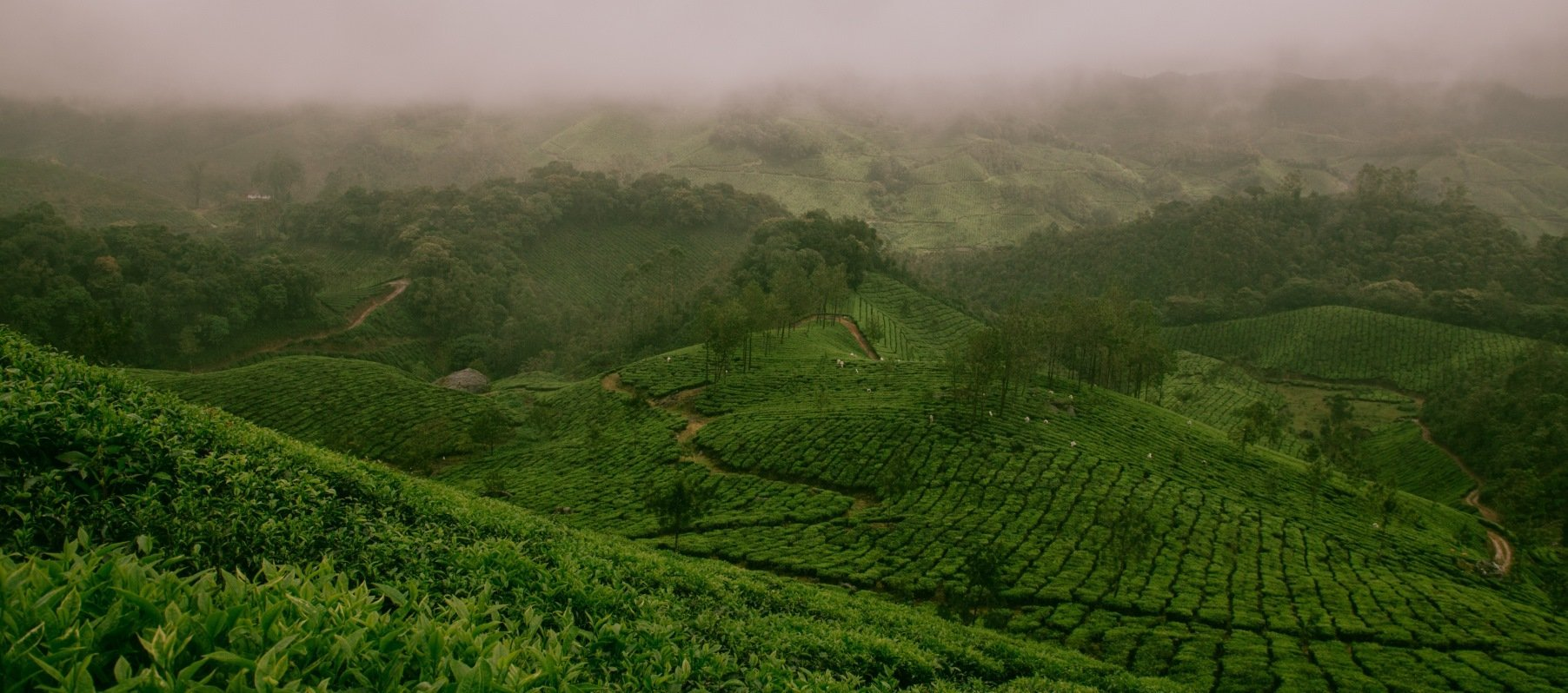Indian tea gardens of Darjeeling