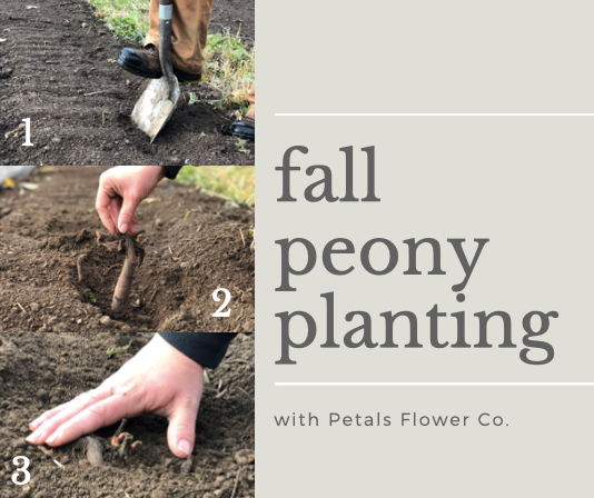 Planting Peony Eye-Roots in the Fall