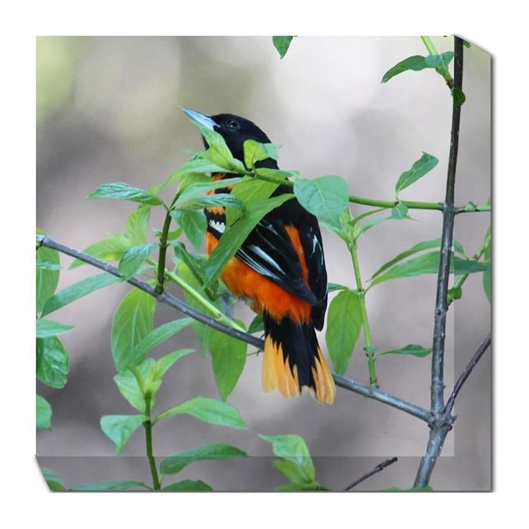 Baltimore Oriole Canvas Art - Outdoor Art Pros
