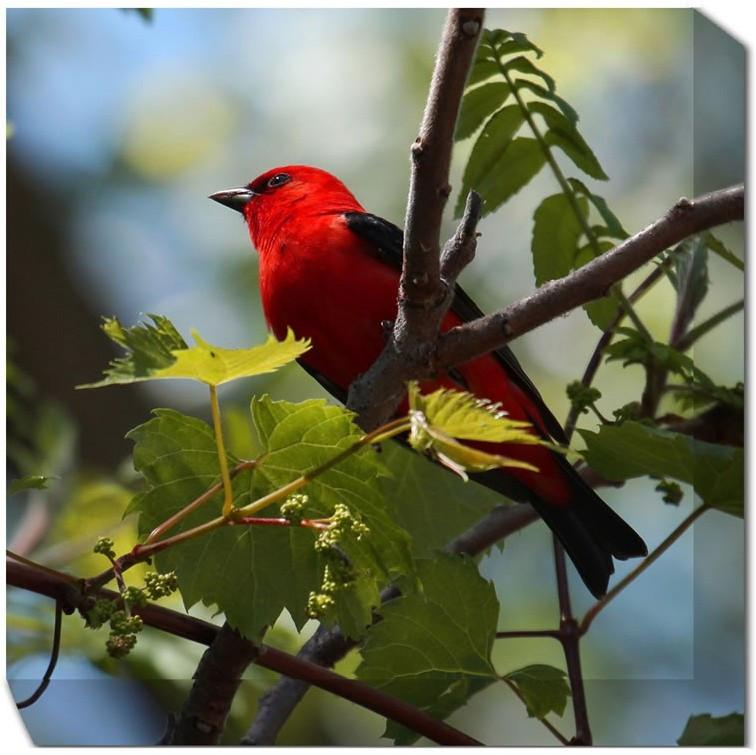 Scarlet Tanager Canvas Art