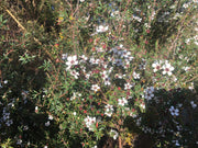 Leptospermum scoparium Canterbury