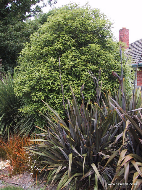 Pittosporum eugenioides