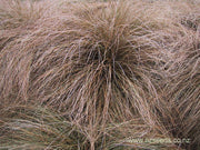 Carex comans var Red