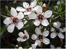 Leptospermum scoparium High-NPA-Waikato