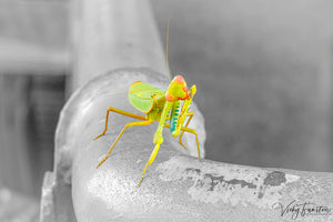 Praying Mantis /spot