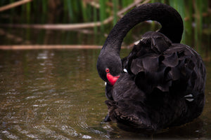 Black Swan Bill Tuck