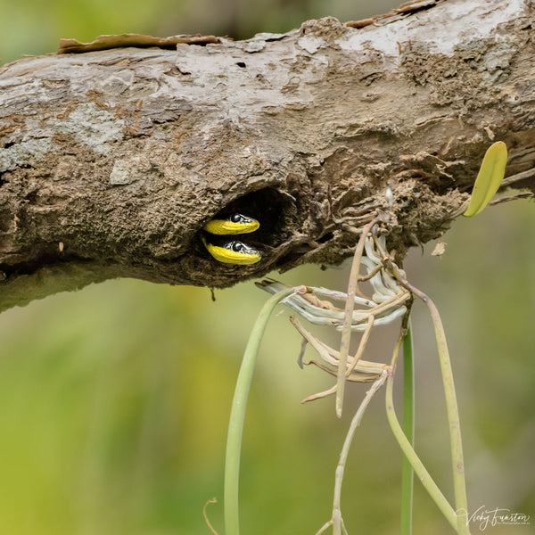 Tree Snake Lookout
