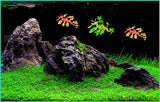Fish Tank Simulation of Plastic Plant Simulation Color Dragon