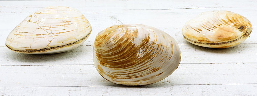 Clam Gemstone Fossil - Stone For A Fresh And Rejuvenated Life Natural Stones