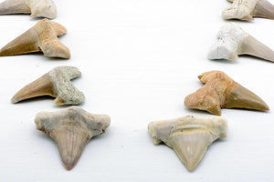 Prehistoric Megalodon Shark Tooth Fossil Natural