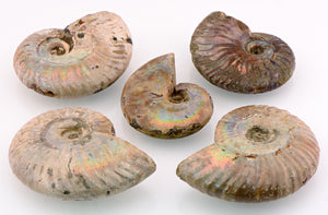 Iridescent Rainbow Ammonite Gemstone Fossil - Small Stone Of Accepting Change In Life Natural Stones