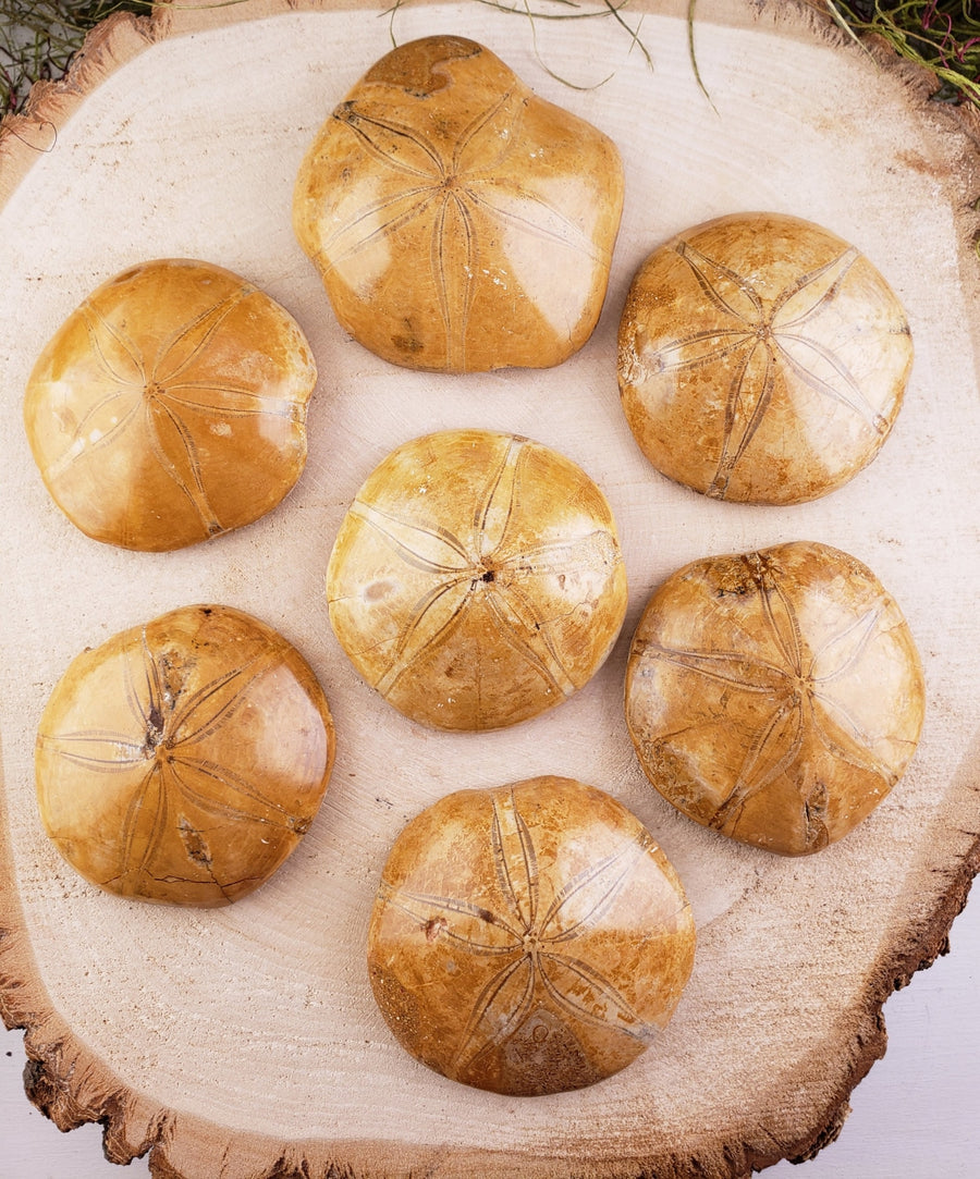 Sand Dollar Sea Urchin Echinoid Gemstone Fossil Natural Stones