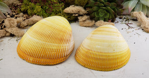 Mexican Yellow Cup Shell Natural Gemstone - Stone For Cleansing and Healing